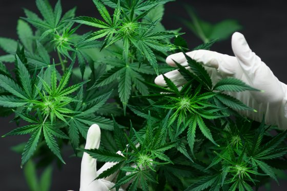 A pair of gloved hands hold the tip of a cannabis plant