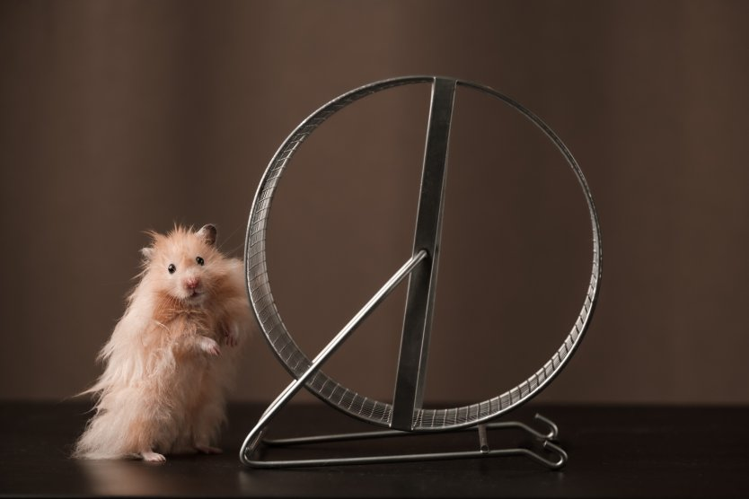 A hamster beside a hamster wheel